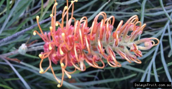 Grevillea Honey barbara