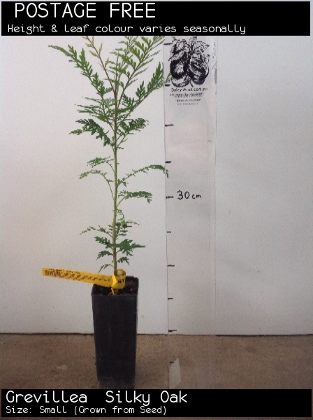Grevillea  Silky Oak For Sale (Size: Small)  (Grown from Seed)