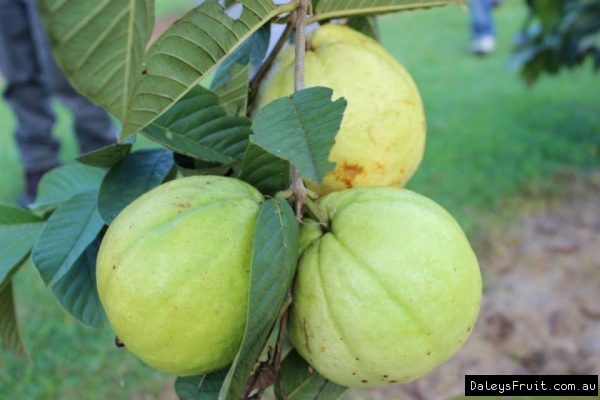 Guava Thai White Tree - Psidium guajava