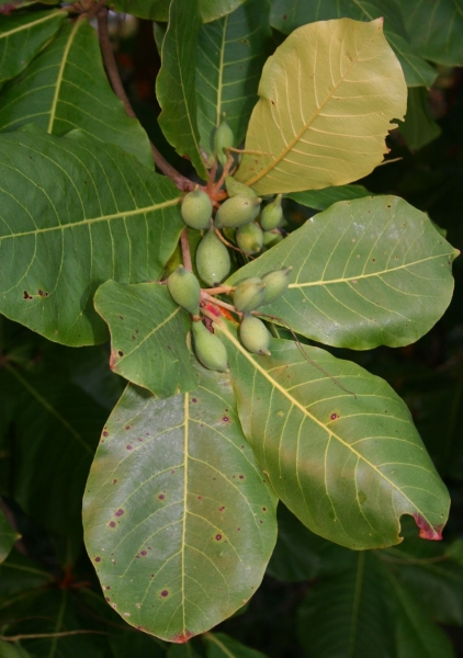 indian almond Terminalia catappa