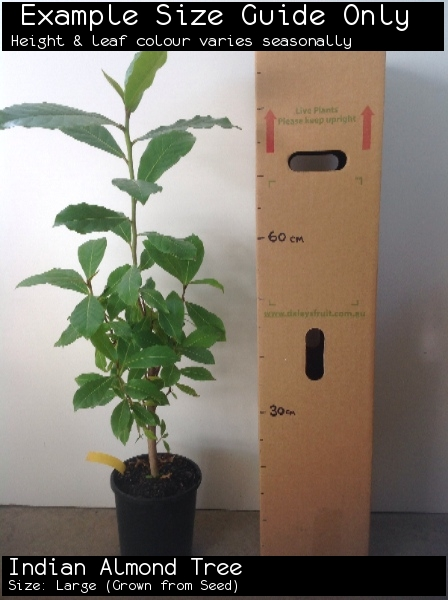 Indian Almond Tree For Sale (Size: Large)  (Grown from Seed)