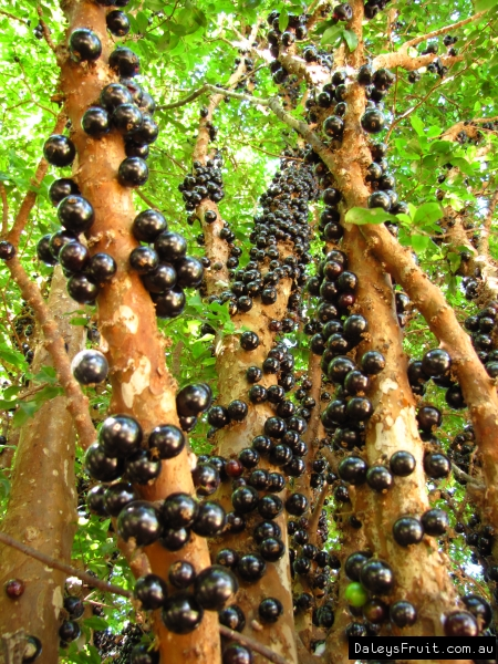 Jaboticaba fruiting on stem