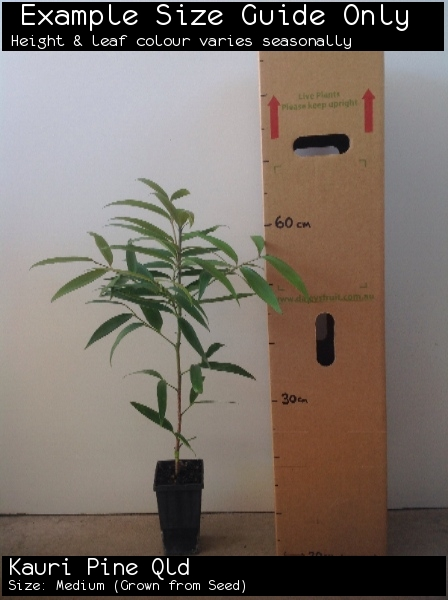 Kauri Pine Qld  For Sale (Size: Medium)  (Grown from Seed)