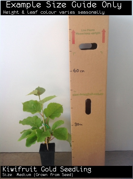 Kiwifruit Gold Seedling For Sale (Size: Medium)  (Grown from Seed)