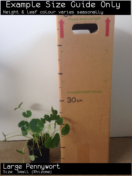 Large Pennywort For Sale (Size: Small)  (Rhizome)