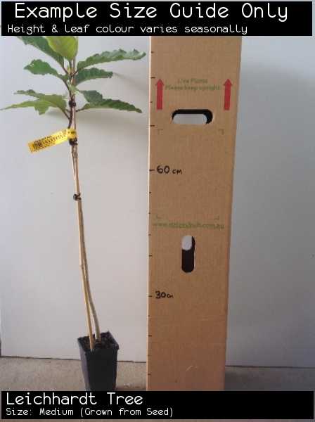 Leichhardt Tree For Sale (Size: Medium)  (Grown from Seed)