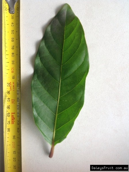 Leaf of the Leichhardt Tree