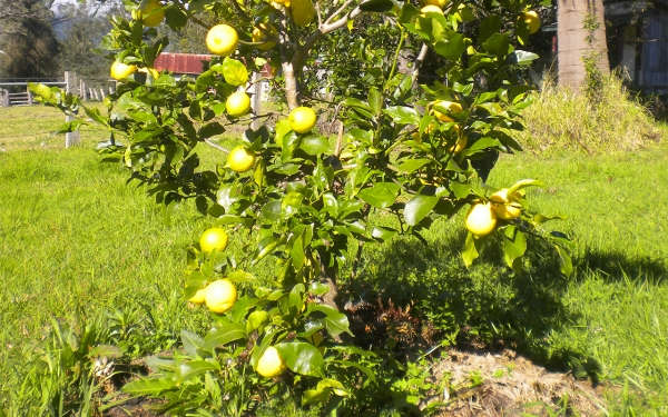 Lemon Lisbon Tree Growing and Fruiting