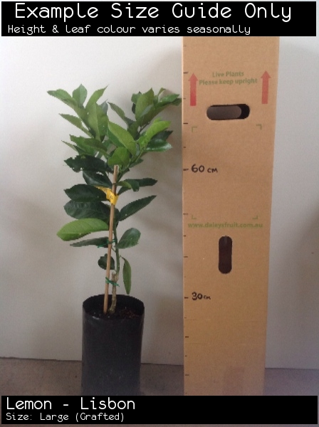Lemon - Lisbon For Sale (Size: Large)  (Grafted)