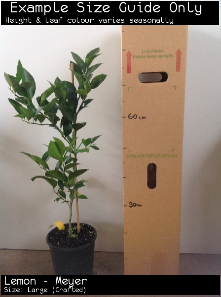 Lemon - Meyer For Sale (Size: Large)  (Grafted)