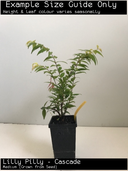 Lilly Pilly - Cascade For Sale (Medium)