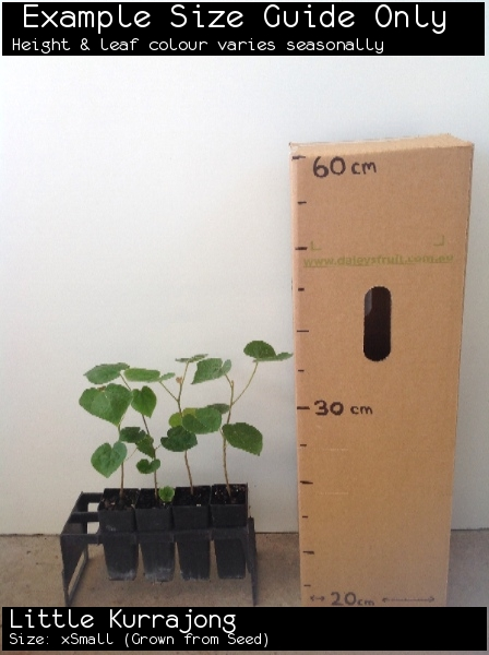 Little Kurrajong For Sale (Size: xSmall)  (Grown from Seed)