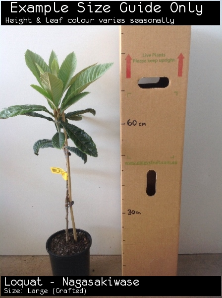 Loquat - Nagasakiwase For Sale (Size: Large)  (Grafted)