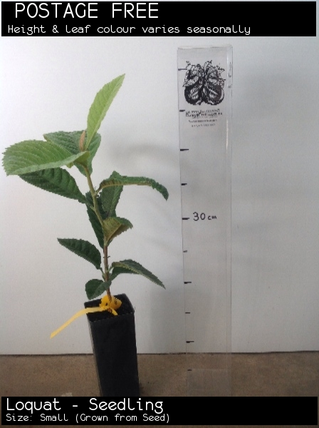 Loquat - Seedling For Sale (Size: Small)  (Grown from Seed)