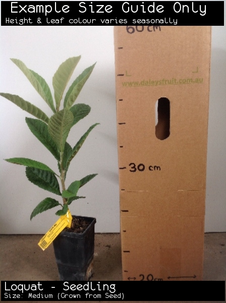 Loquat - Seedling For Sale (Size: Medium)  (Grown from Seed)