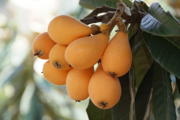 Loquat Fruit growing on Tree