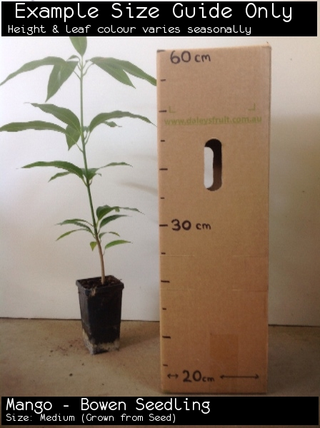 Mango - Bowen Seedling For Sale (Size: Medium)  (Grown from Seed)