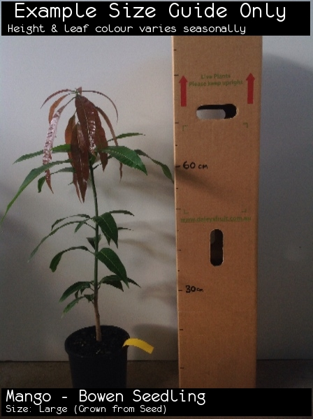 Mango - Bowen Seedling For Sale (Size: Large)  (Grown from Seed)