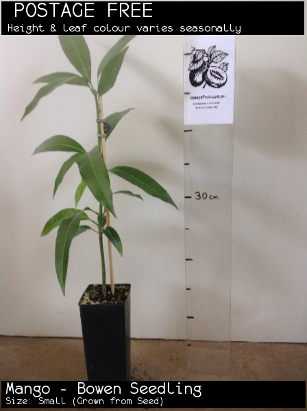 Mango - Bowen Seedling For Sale (Size: Small)  (Grown from Seed)