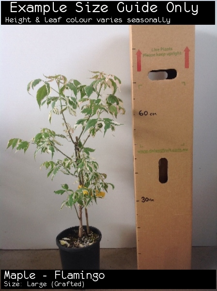 Maple - Flamingo For Sale (Size: Large)  (Grafted)