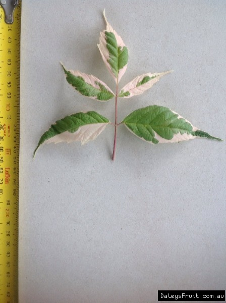 Leaf of the Maple Flamingo