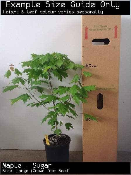 Maple - Sugar For Sale (Size: Large)  (Grown from Seed)