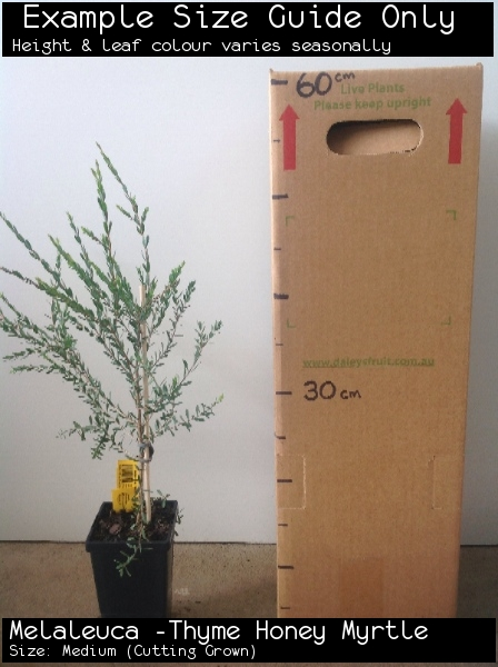 Melaleuca -Thyme Honey Myrtle For Sale (Size: Medium)  (Cutting Grown)