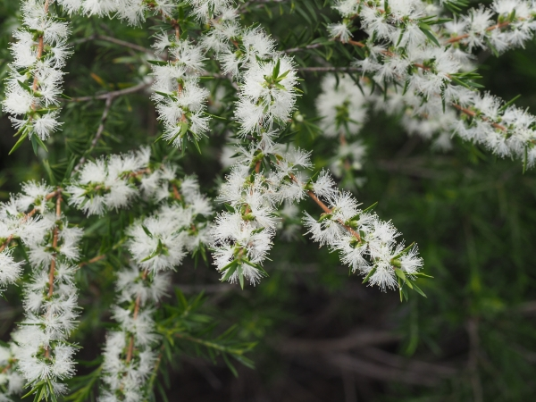 Melaleuca bracteata growing near the Wollomombi River in the Oxley Wild Rivers National Park about 300m upstream from Wollomombi Falls