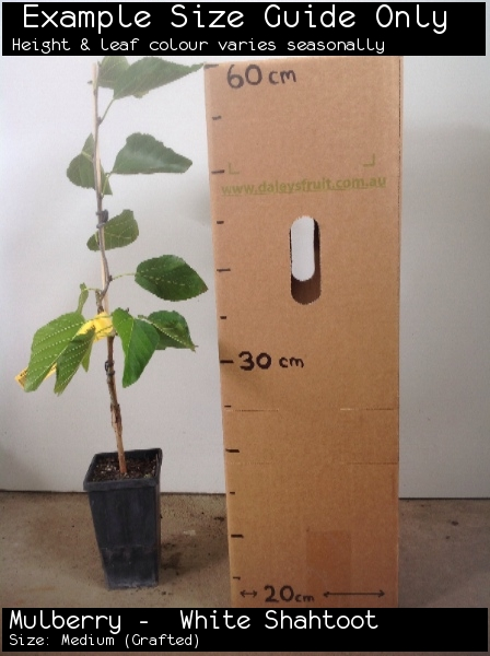 Mulberry -  White Shahtoot For Sale (Size: Medium)  (Grafted)