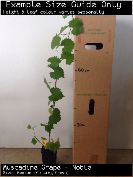 Muscadine Grape - Noble For Sale (Size: Medium)  (Cutting Grown)