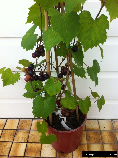 Noble Grape in Pot fruiting in first year