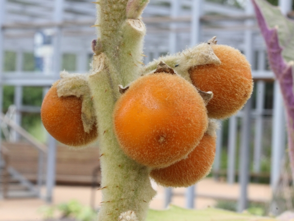 Naranjilla fruit growing on tree