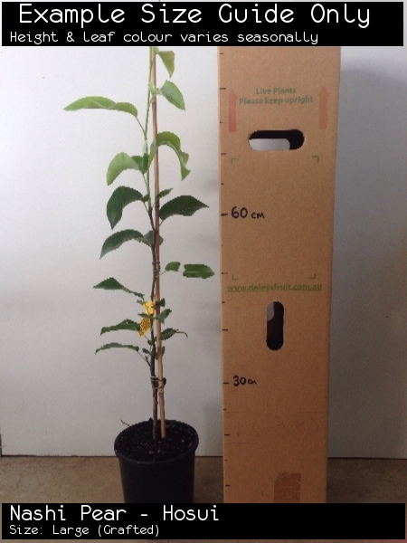 Nashi Pear - Hosui For Sale (Size: Large)  (Grafted)
