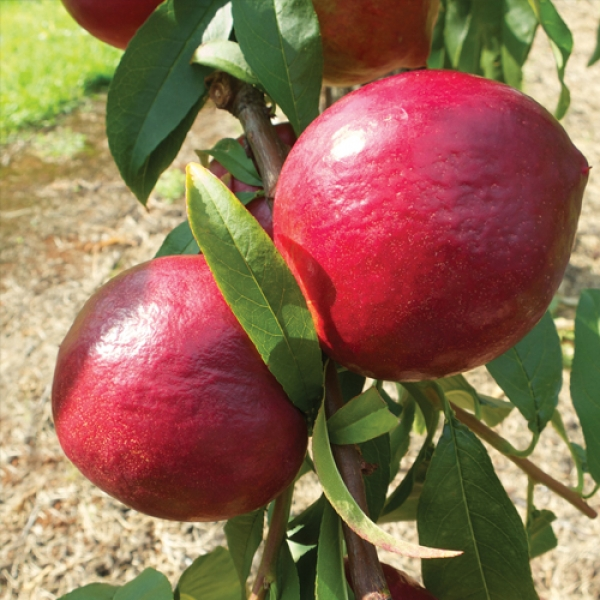 Sunbob nectarine fruit trees are a low chill red blush skin and slightly waxy.