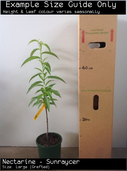 Nectarine - Sunraycer For Sale (Size: Large)  (Grafted)