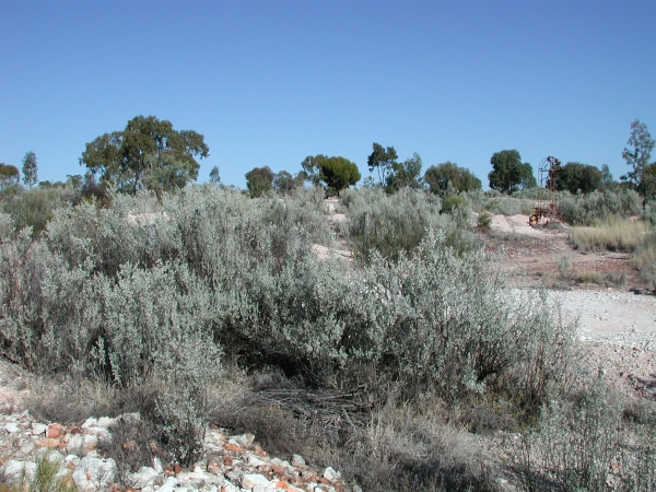 Old Man Saltbush
