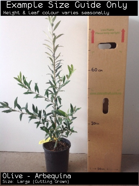 Olive - Arbequina For Sale (Size: Large)  (Cutting Grown)