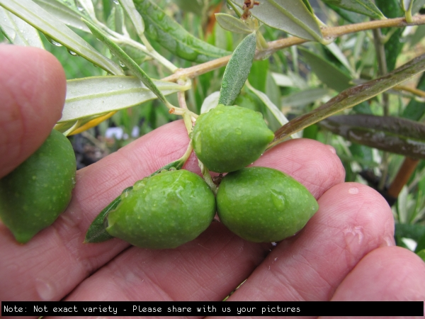 Olive General Picture on Tree Not exact Variety