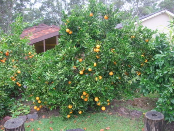 Orange Washington Navel Fruit Tree in Backyard