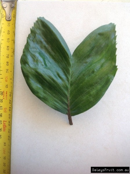 Leaf of the Palm Walking Stick