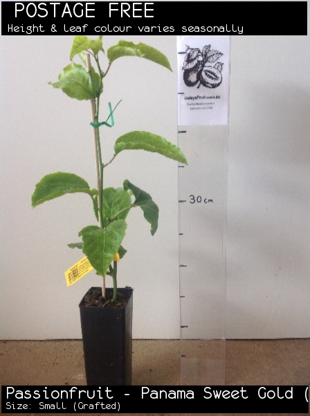 Passionfruit - Panama Sweet Gold (G) For Sale (Size: Small)  (Grafted)