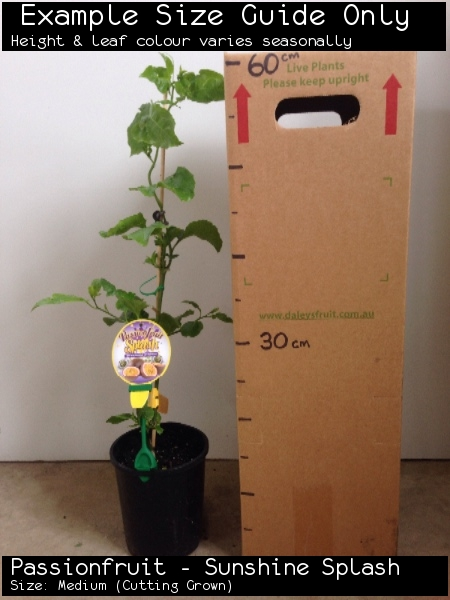 Passionfruit - Sunshine Splash For Sale (Size: Medium)  (Cutting Grown)