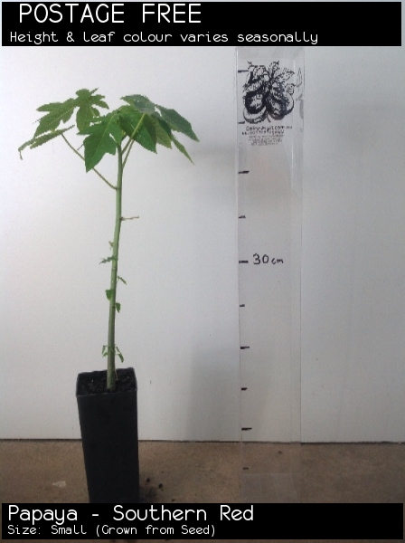Papaya - Southern Red For Sale (Size: Small)  (Grown from Seed)