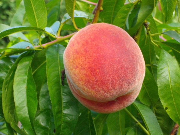 Peach Growing on Tree