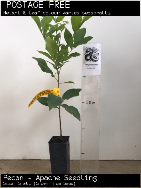 Pecan - Apache Seedling For Sale (Size: Small)  (Grown from Seed)