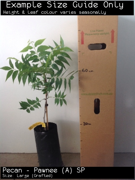 Pecan - Pawnee (A) SP For Sale (Size: Large)  (Grafted)