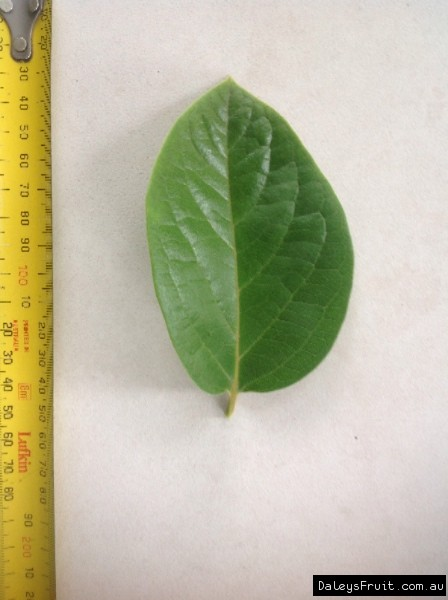 Leaf of the Persimmon Hachiya A