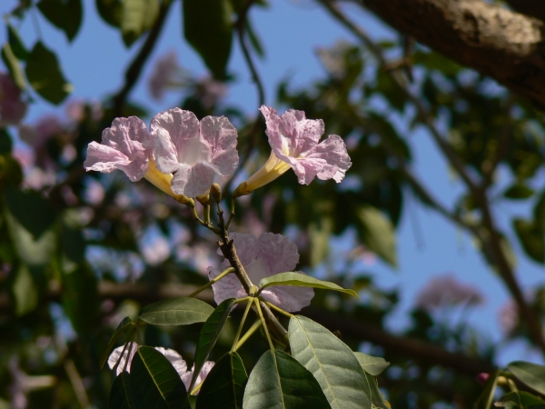 Flower close up of the pink trumpet tree