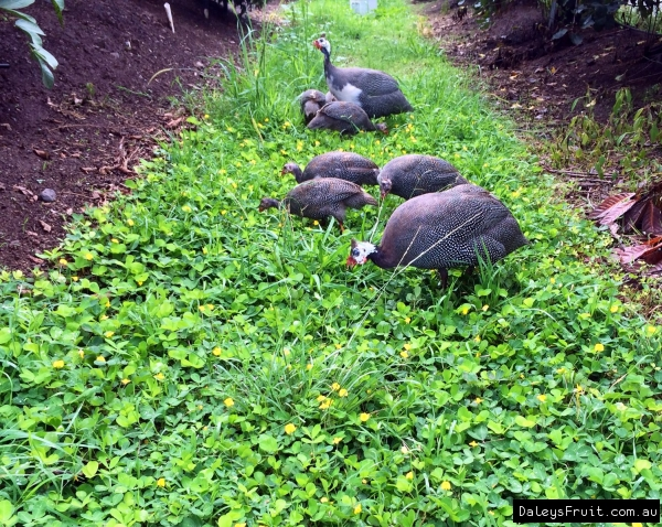 Guinea Fowls love foraging through the Pinto Peanut ground cover in our Exclusion Orchard