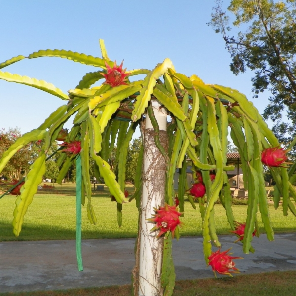 Dark Star Dragon Fruit growing on the vine ready to pick